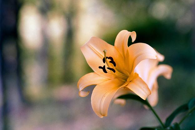 30花菜ガーデン【ユリ:コルシニ】銀塩NLP