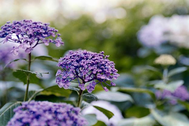 33花菜ガーデン【紫陽花:ウズアジサイ】2銀塩NLP