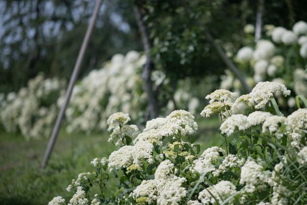 34花菜ガーデン【紫陽花:ヘイズスターバースト】1