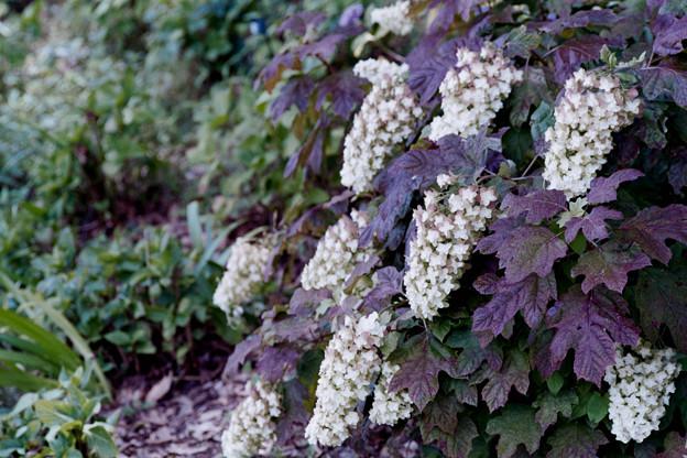 38花菜ガーデン【紫陽花:カシワバアジサイ】銀塩NLP