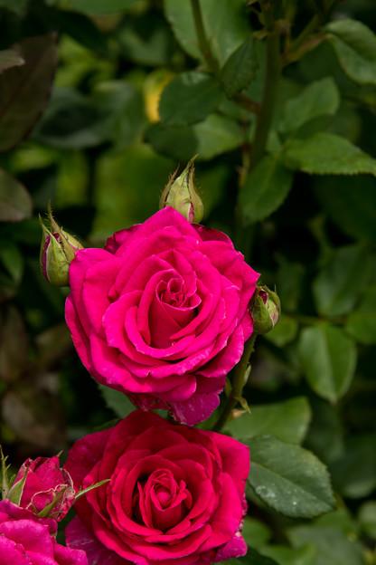 46花菜ガーデン【夏バラ:ベル・ソルシェール】