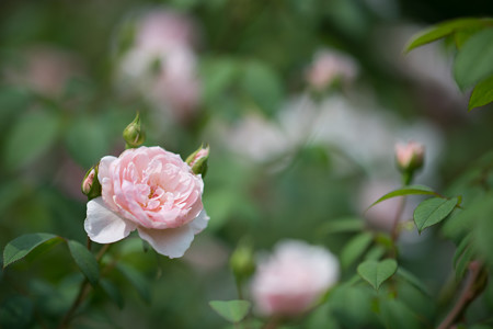 47花菜ガーデン【夏バラ:ウィズレー2008】