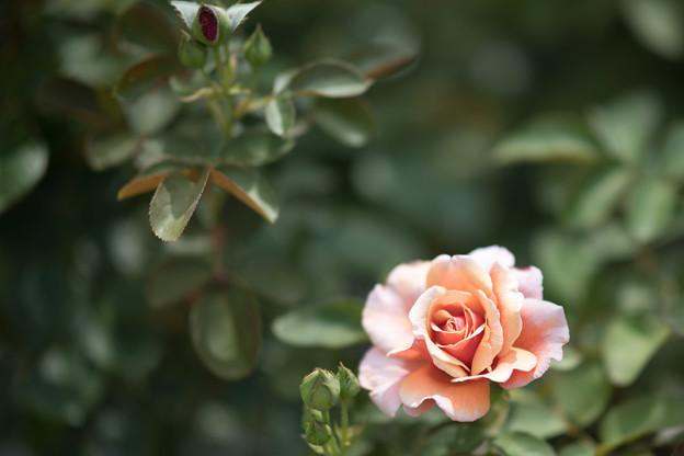 49花菜ガーデン【夏バラ:トム・ブラウン】