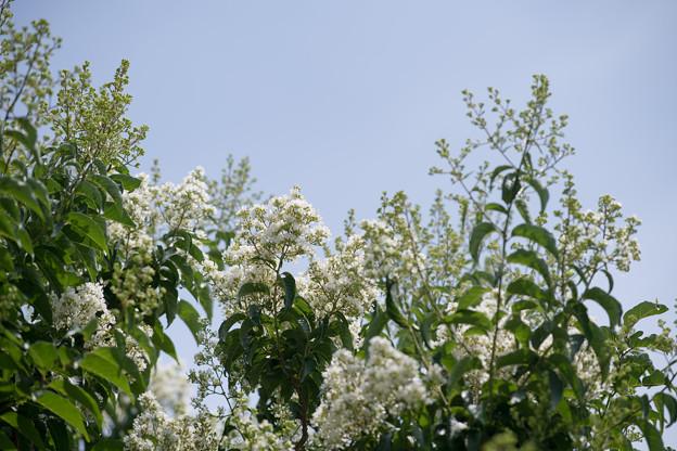 53花菜ガーデン【ヤクシマサルスベリ】1