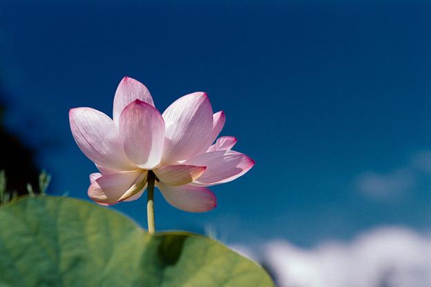 20花菜ガーデン【ハス】4銀塩NLP