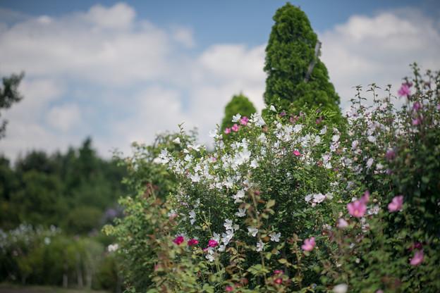 22花菜ガーデン【ムクゲ】1