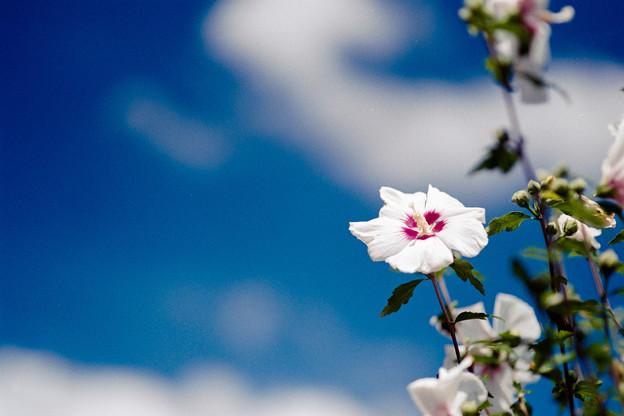 24花菜ガーデン【ムクゲ】3銀塩NLP