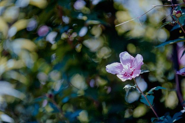 25花菜ガーデン【ムクゲ】4銀塩NLP