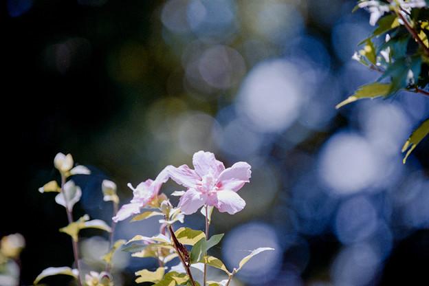 26花菜ガーデン【ムクゲ】5銀塩NLP