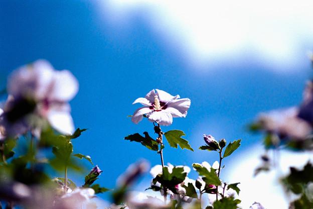 27花菜ガーデン【ムクゲ:ナツゾラ】銀塩NLP