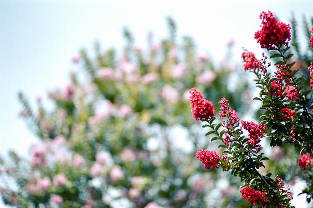 31花菜ガーデン【サルスベリ:ディア・ルージュ】2銀塩NLP