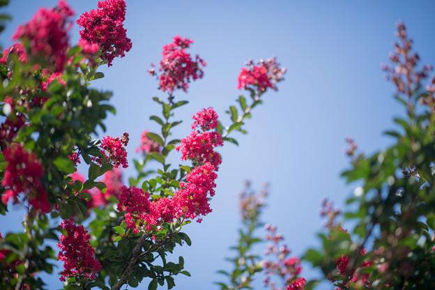 32花菜ガーデン【サルスベリ:ディア・ルージュ】3