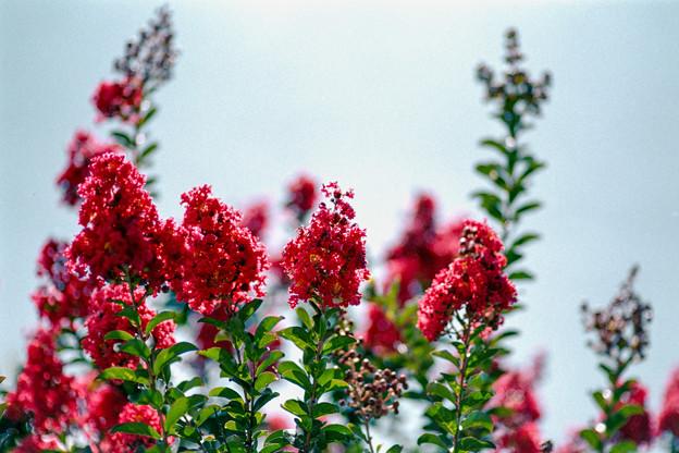 33花菜ガーデン【サルスベリ:ディア・ルージュ】4銀塩NLP