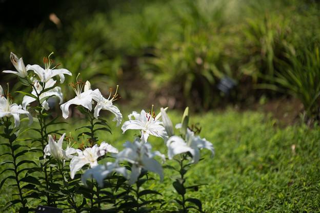 36花菜ガーデン【ユリ:シベリア】1