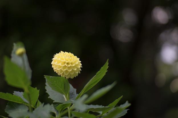 07神代植物公園【ダリア:黄望】3