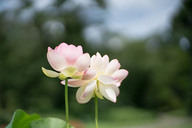 14神代植物公園【蓮:ミセス・スローカム】2