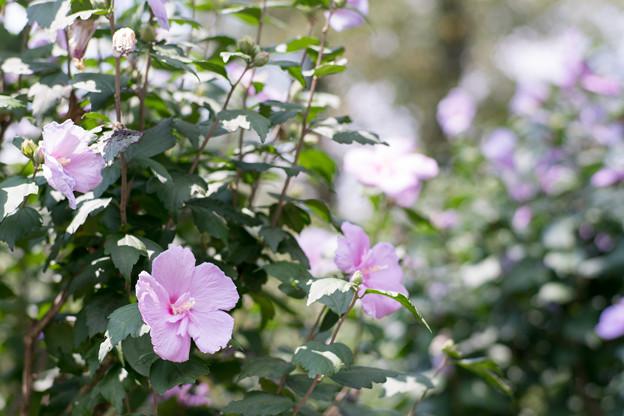 22神代植物公園【ムクゲ:大徳寺祇園守】1