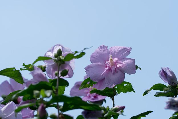 25神代植物公園【ムクゲ:大徳寺祇園守】4