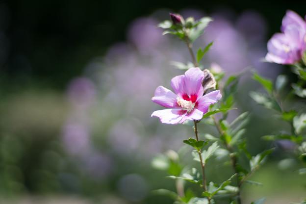 27神代植物公園【ムクゲ:紫細弁】2