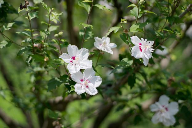 30神代植物公園【ムクゲ:耳原花笠】1