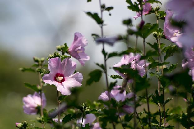 37神代植物公園【ムクゲ:コーレスティス】1