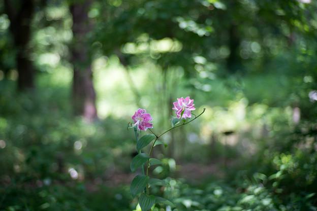 46神代植物公園【百合:カノコユリ】1