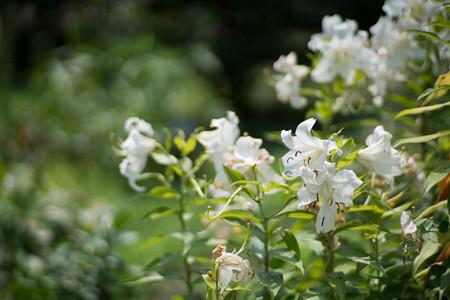 54神代植物公園【百合:カサブランカ】1