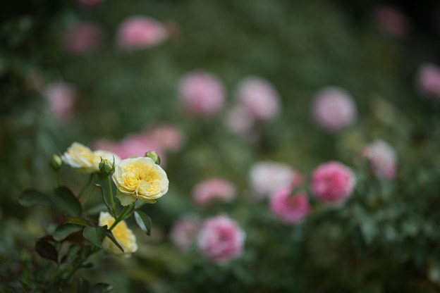 37大船フラワーセンター【夏バラ:サンライト・ロマンティカ】