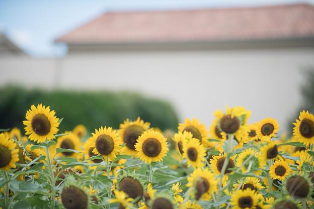 16ソレイユの丘【入口花壇の近景】4