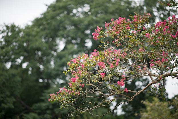 05神代植物公園【サルスベリ】3