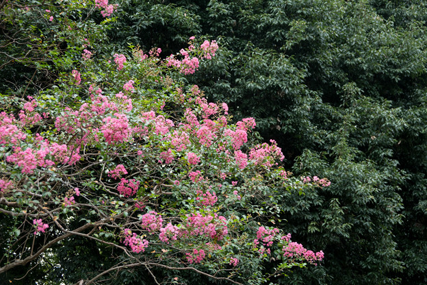 06神代植物公園【サルスベリ】4