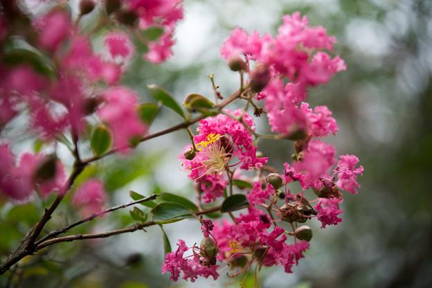 07神代植物公園【サルスベリ】5