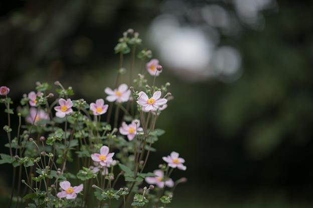 08神代植物公園【シュウメイギク】1