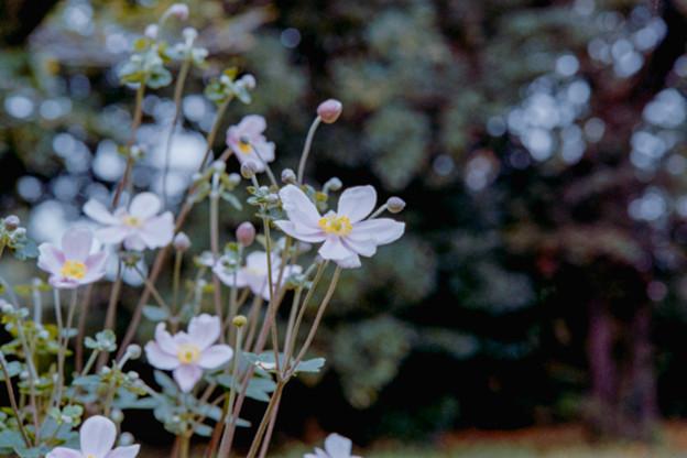 13神代植物公園【シュウメイギク】6銀塩NLP