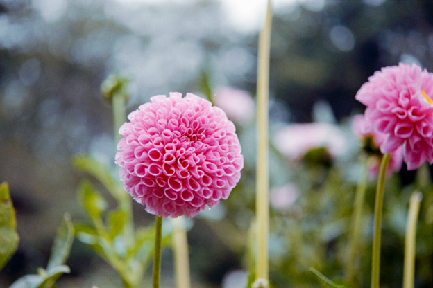 17神代植物公園【ダリア:No16-146】銀塩NLP