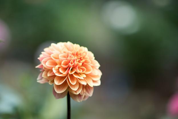 21神代植物公園【ダリア:オレンジ・サンシャイン】1
