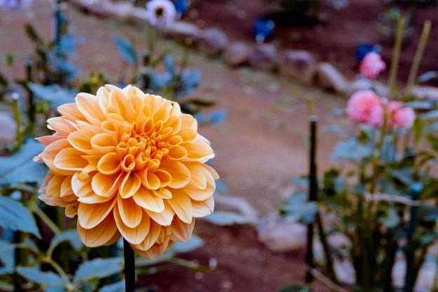 22神代植物公園【ダリア:オレンジ・サンシャイン】2銀塩NLP