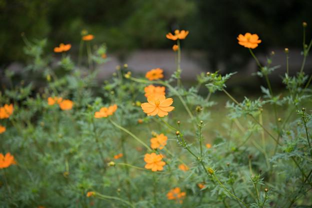 24神代植物公園【キバナコスモス】