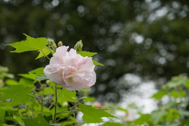 26神代植物公園【スイフヨウ】