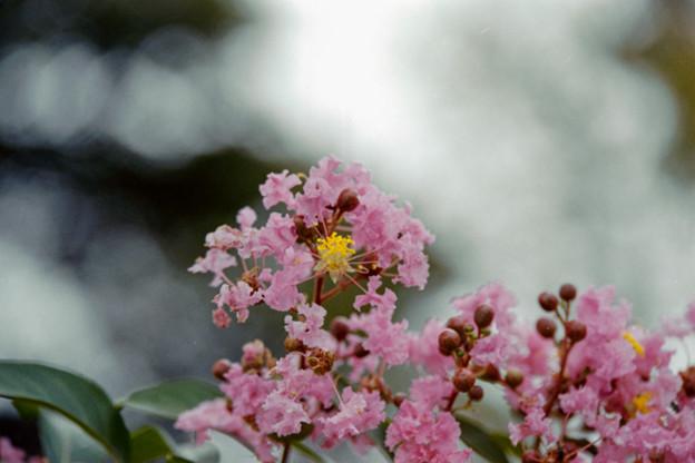16花菜ガーデン【サルスベリ(赤系)】6銀塩NLP