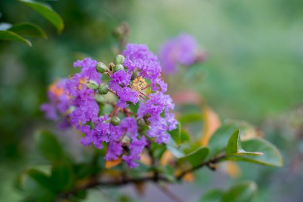 18花菜ガーデン【サルスベリ(紫系)】1