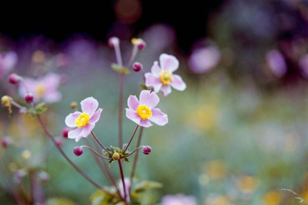 22花菜ガーデン【シュウメイギク】1銀塩NLP