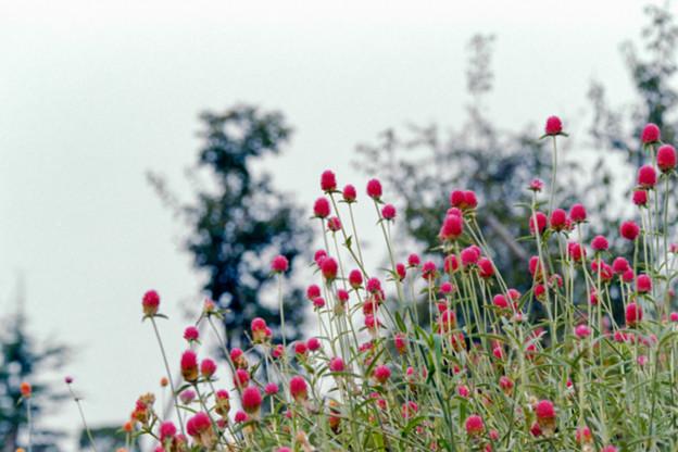 29花菜ガーデン【センニチコウ】3銀塩NLP