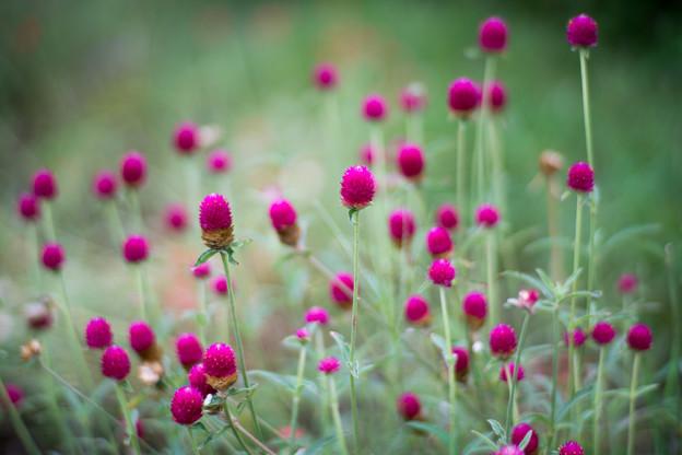 30花菜ガーデン【センニチコウ】4