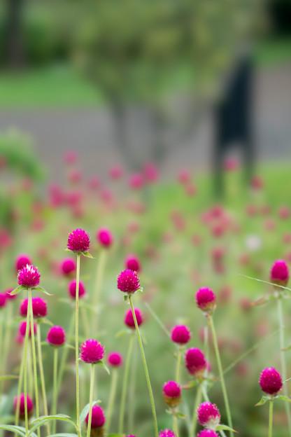 31花菜ガーデン【センニチコウ】5