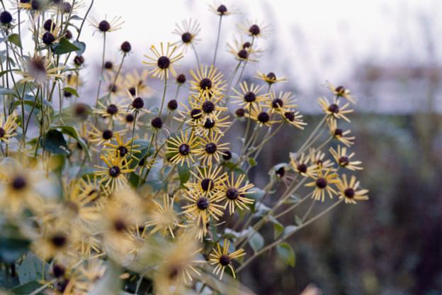 32花菜ガーデン【ルドベキア:ヘンリーアイラーズ】1銀塩NLP