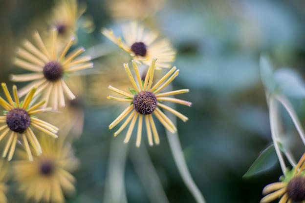 33花菜ガーデン【ルドベキア:ヘンリーアイラーズ】2