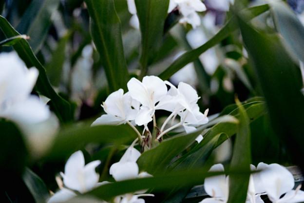 43花菜ガーデン【ジンジャー・リリー】1銀塩NLP