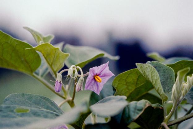 49花菜ガーデン【ナスの花】銀塩NLP