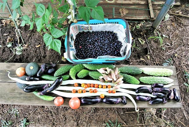 8月7日の収穫
